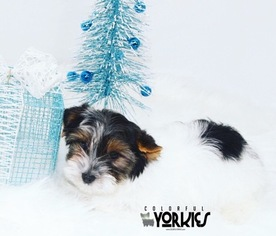 Yorkshire Terrier Puppy For Sale in ROANOKE, TX, USA