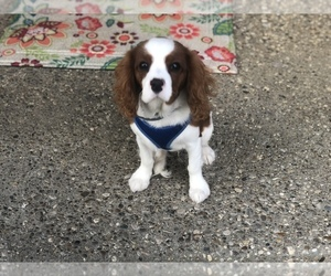 Cavalier King Charles Spaniel Puppy for sale in SHELBYVILLE, KY, USA