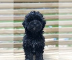 Small #4 Maltese-Poodle (Toy) Mix