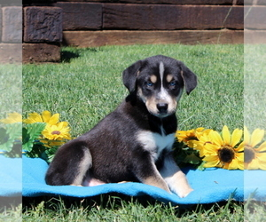Labrador Retriever-Siberian Husky Mix Puppy for sale in PEACH BOTTOM, PA, USA