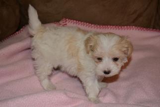Maltipoo Puppy For Sale in JASPER, GA