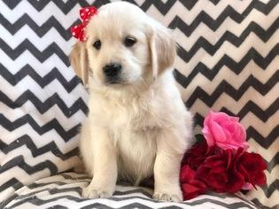 View Ad English Cream Golden Retriever Puppy For Sale Pennsylvania