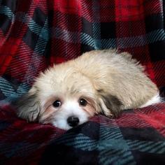 Havanese Puppy For Sale in HOUSTON, TX