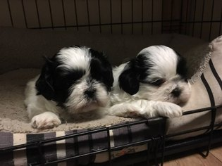 View Ad Shih Tzu Puppy For Sale Mississippi Courtland Usa