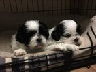 Shih Tzu Puppy For Sale in COURTLAND, MS, USA