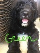 Sheepadoodle Puppy For Sale in ORRVILLE, OH, USA