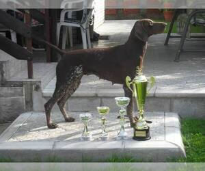 Mother of the German Shorthaired Pointer puppies born on 01/12/2020