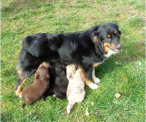 Australian Shepherd Puppy for sale in RUSH, CO, USA