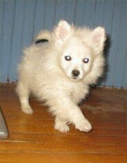 Medium American Eskimo Dog (Toy)