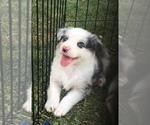 Australian Shepherd Puppy For Sale in GEORGETOWN, IL, USA