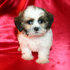 Shih Tzu Puppy For Sale in CEDAR PARK, TX, USA