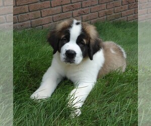 Saint Bernard Puppy for sale in FREDERICKSBG, OH, USA