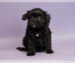 Puppy 3 Shih Tzu-Yorkie-Poo Mix