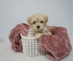 Maltese Puppy for Sale in PORTLAND, Oregon USA