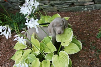Weimaraner Puppy For Sale in WORCESTER, NY, USA