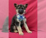 Small Photo #2 German Shepherd Dog Puppy For Sale in NEW PROVIDENCE, PA, USA