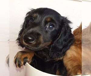 Dachshund Puppy for sale in BRISTOL, TN, USA
