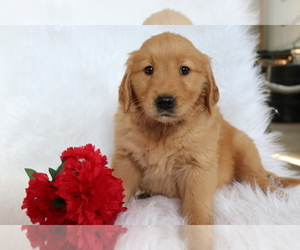 Golden Retriever Puppy for sale in SHILOH, OH, USA