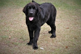 Newfoundland Puppy For Sale in BEAUFORT, SC, USA