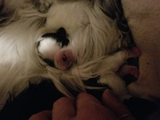 Shih Tzu Puppy for sale in WICHITA, KS, USA