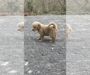 Goldendoodle Puppy for Sale in COLUMBIA, Kentucky USA