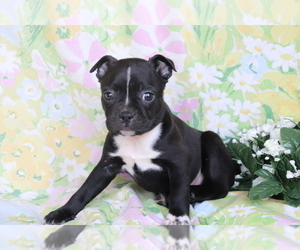 Boston Terrier-Faux Frenchbo Bulldog Mix Dog for Adoption in SHILOH, Ohio USA