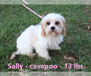 Mother of the Cavapoo puppies born on 01/12/2020