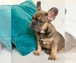 Puppy 0 French Bulldog