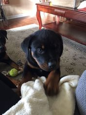 Rottweiler Puppy For Sale in SWOOPE, VA, USA