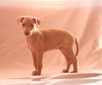 Puppy 7 Pharaoh Hound