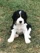 English Springer Spaniel Puppy For Sale in BYRON CENTER, MI, USA
