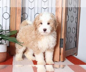 Miniature Bernedoodle Puppy for sale in NAPLES, FL, USA