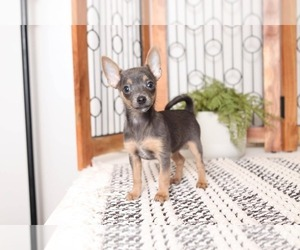 Chihuahua Puppy for sale in NAPLES, FL, USA