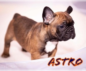 French Bulldog Puppy for Sale in PEARLAND, Texas USA