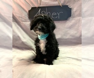 Aussiedoodle-Poodle (Miniature) Mix Puppy for Sale in REEDS SPRING, Missouri USA