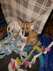 Bull Terrier Puppy For Sale in LONG BEACH, CA, USA
