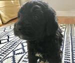 Puppy 2 Newfoundland-Poodle (Standard) Mix