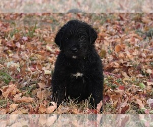 Golden Mountain Dog Puppy for sale in FORT COLLINS, CO, USA