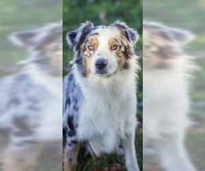 Mother of the Australian Shepherd puppies born on 03/23/2020