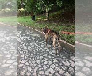 Mastador Dogs for adoption in LOGANVILLE, GA, USA