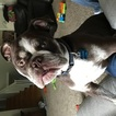 English Bulldogge Puppy For Sale in MARION, IA