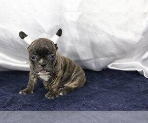 French Bulldog Puppy for sale in PURCHASE, NY, USA