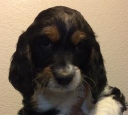 Springerdoodle Puppy For Sale in ANZA, CA, USA