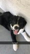 Border Collie Puppy For Sale in FORT MYERS, Florida,