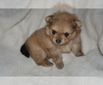 Pomeranian Puppies for Sale  Available Mid June