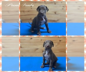 Great Dane Puppy for sale in MINGO, MS, USA