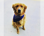 Small Photo #2 Golden Retriever Puppy For Sale in ROGERSVILLE, MO, USA