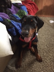 Doberman Pinscher Puppy For Sale in SCOTT CITY, MO, USA
