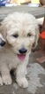 Goldendoodle Puppy For Sale in BAY MINETTE, AL,