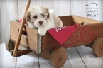 Havanese Puppy For Sale in SHELBY, OH, USA